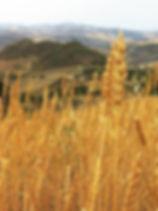 Campo di grano San Giovannello