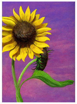 sunflower war 1