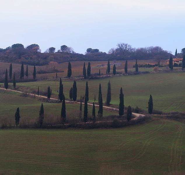 Tuscan Poplar Trees Winding Upwards