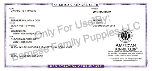 American Kennel Club Bernese Mountain Dog