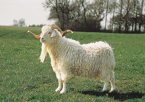 Angora-goat.jpg