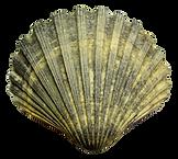 kisspng-seashell-cockle-sea-shell-5a736b