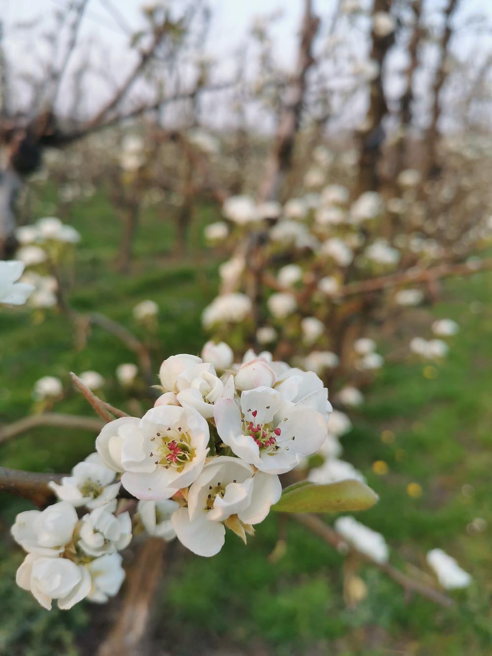 Blossom trees Hageland