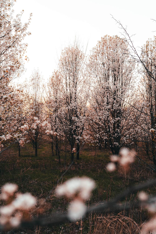 Blossom trees Belgium