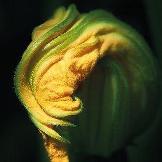 'Zucchini II' Giclée Prints