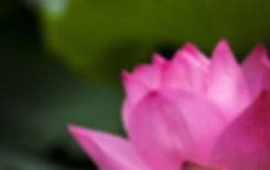 lotus-614494__480.jpg