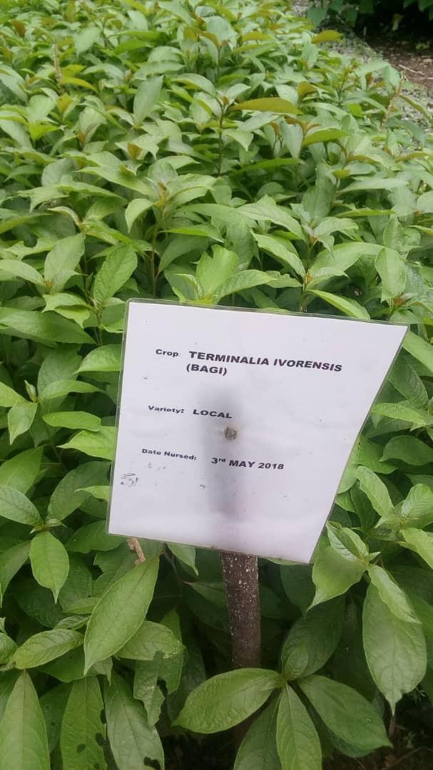 Pic 5 Terminalia Ivorensis.jpg