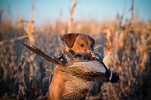 Pheasant3.jpeg