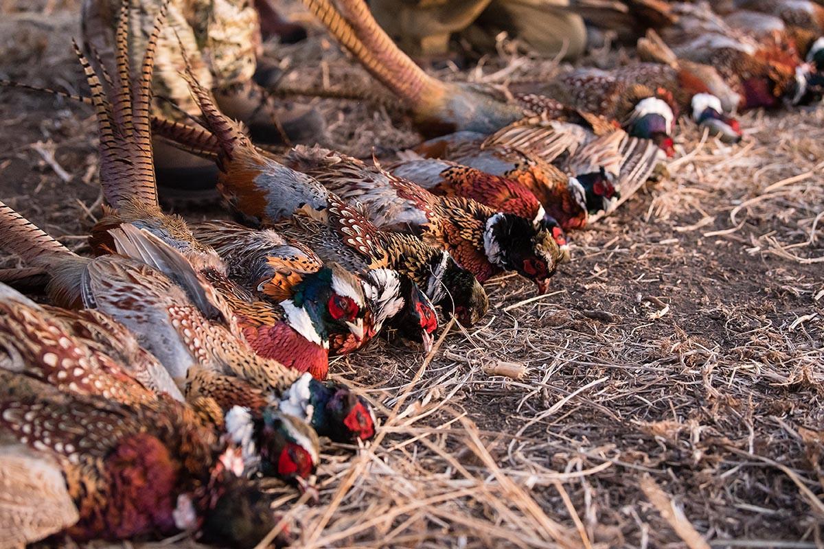 Pheasant.jpeg