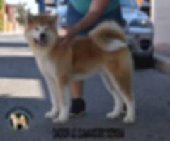 DAIRIN GO KAWAAKARI KENSHA, magnifico cachorro de akita inu propiedad de Meiyo to eiko akita kennel, el mejor criadero de akita inu en España.