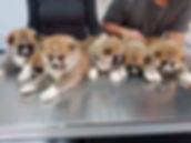 Meiyo to eiko akita, visita al veterinario conlos cachorros akita de 30 dias de edad.
