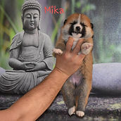 Meiyo to Eiko B'Mika Go, con 18 dias de edad.