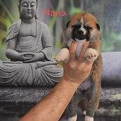 Meiyo to Eiko B'Nana GO, cachorra de akita con 18 dias de edad.