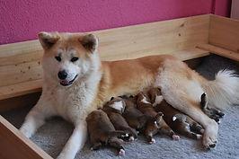 A'Hajime Sakuraban con sus 6 maravillosos cachorros de akita