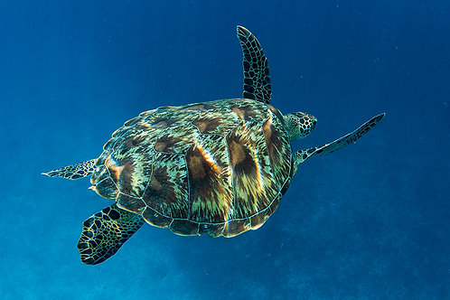 JS445-Green Turtle