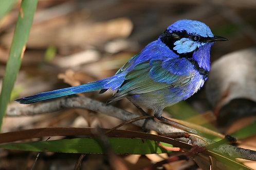 JS175-Blue Wren (Male)