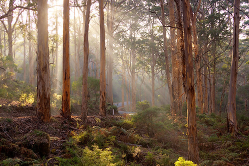 JS322-Misty Boranup Forest