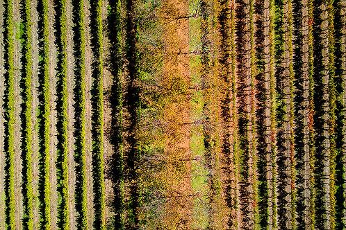 JS463-Vineyard Autumn Vines