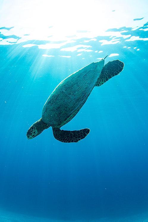 JS444-Green Turtle Freedive