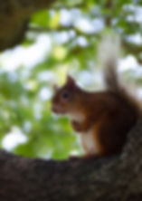 Red Squirrel by Claite Watson-sm.jpg