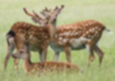 Fallow Deer by Claire Watson-sm.jpg
