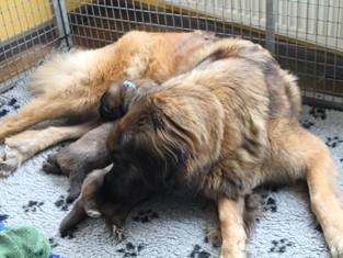 Pups 4 weken