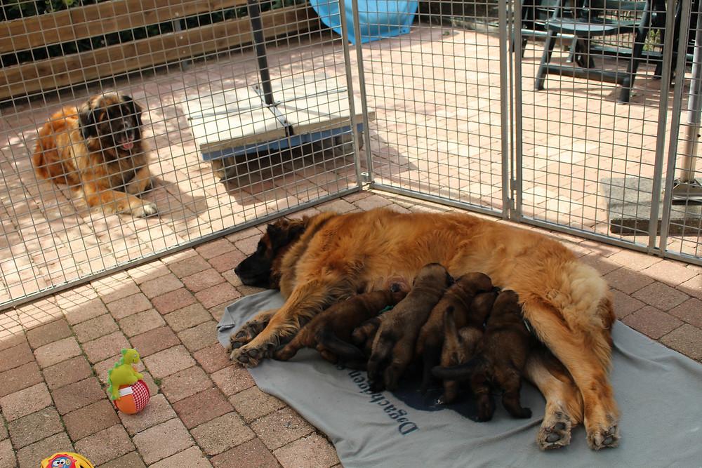 Nu kunnen Bente en half zus Danae ook goed bij de pups!