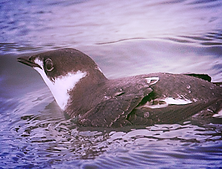 Marbled Murrulet