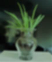 Decorative aloe vera plant
