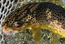 Brown trout 4.jpg