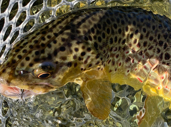March Brown Trrout on a 16 BWO