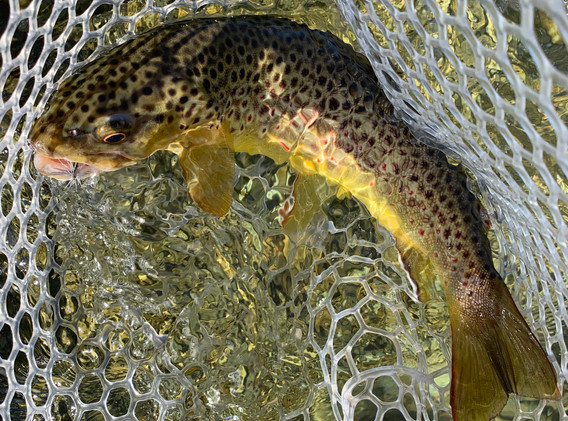 Brown Trout on sz 16 Blue Winged Olive