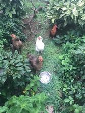 Beechwood Chickens