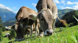 cows-203460_1920_edited.jpg