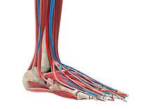 Topvoet, skelet voet