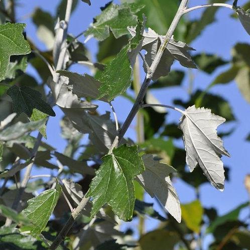 Buy a Poplar Tree
