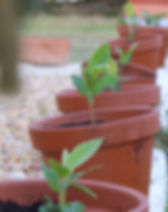 Planting loquat trees.jpg