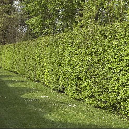 Contribute to a Hornbeam hedge