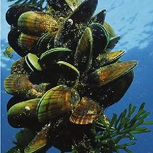 New-Zealand-Greenlip-mussel-Perna-canali