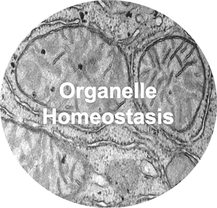 Picture1-Organelle Homeostasis.png