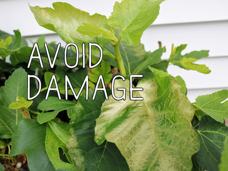 How to Transition Fig Cuttings or Indoor Plants to the Outdoors Properly