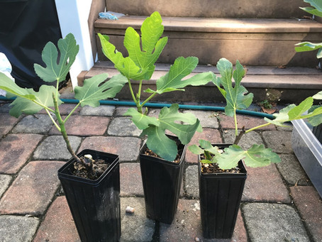 Fig Trees for SALE at Buy it NOW Prices - Black Celeste, Campaniere, Smith, Azores Dark & More
