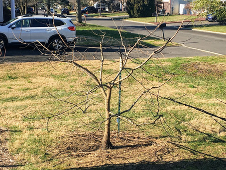 Persimmon Tree Fruit Drop