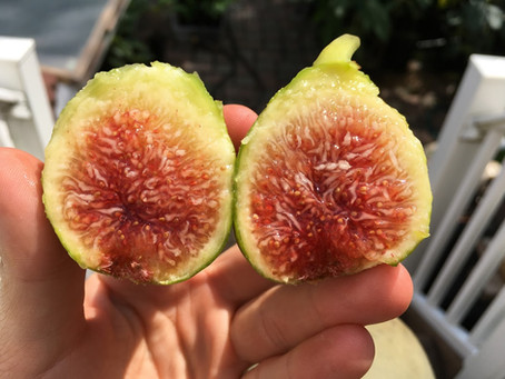 Paradiso (Baud) - One of the Best Tasting Figs PERIOD