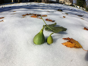 GROWING FIGS IN COLD CLIMATES: A FEW RULES