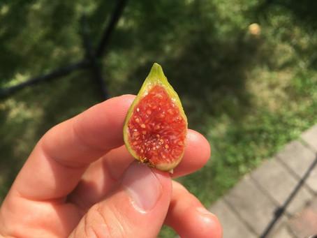 My Best Fig - By Far