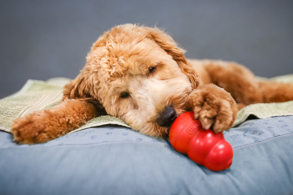 A labradoodle lays on his bed and licks treats out of a kong toy