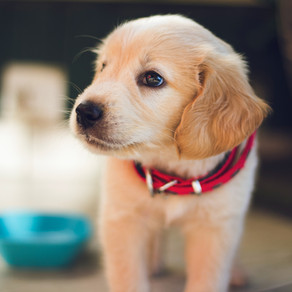 Toilet Training your Puppy: Setting them up for Success!
