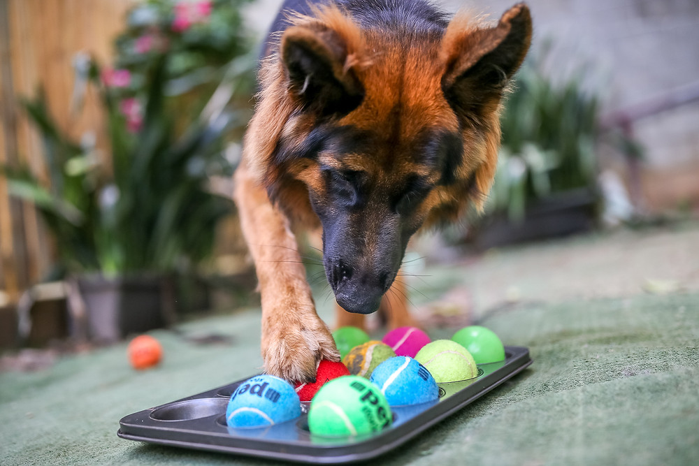 a german shepherd uses her foot to remove a tennis ball from a muffin tray to solve a diy dog puzzle
