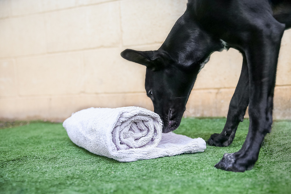 A black dog pushes a rolled up towel to get treats during a homemade canine enrichment puzzle